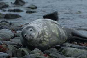 Weddell Seal on Half Moon Island 2-25-07 (11)